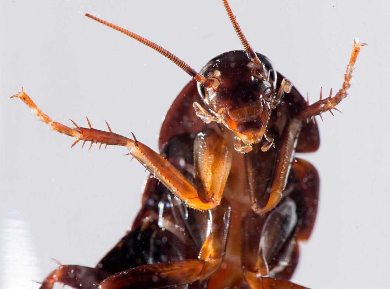 صورة انواع الصراصير بالصور , معلومات عامه عن الصرصار