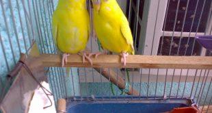 صور تزاوج طيور الحب , نصائح هامه للتزاوج ناجح لطيور الحب