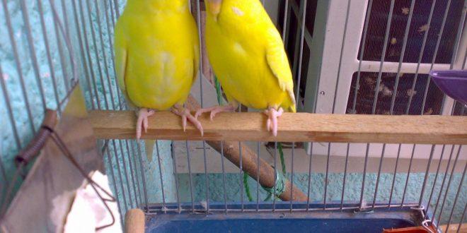 صورة تزاوج طيور الحب , نصائح هامه للتزاوج ناجح لطيور الحب