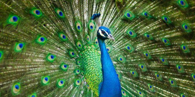 صور معلومات عن الطاووس , ذكر الطاووس اجمل من الانثى تعرف عليه عن قرب