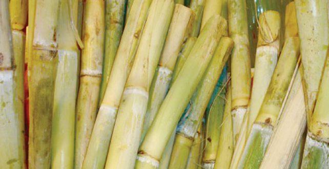 صورة فوائد قصب السكر لمرضى السكر , حل سحرى لكل مريض سكرى القصب مفيد